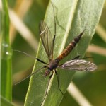 Langpootmug - Nigrotipula nigra