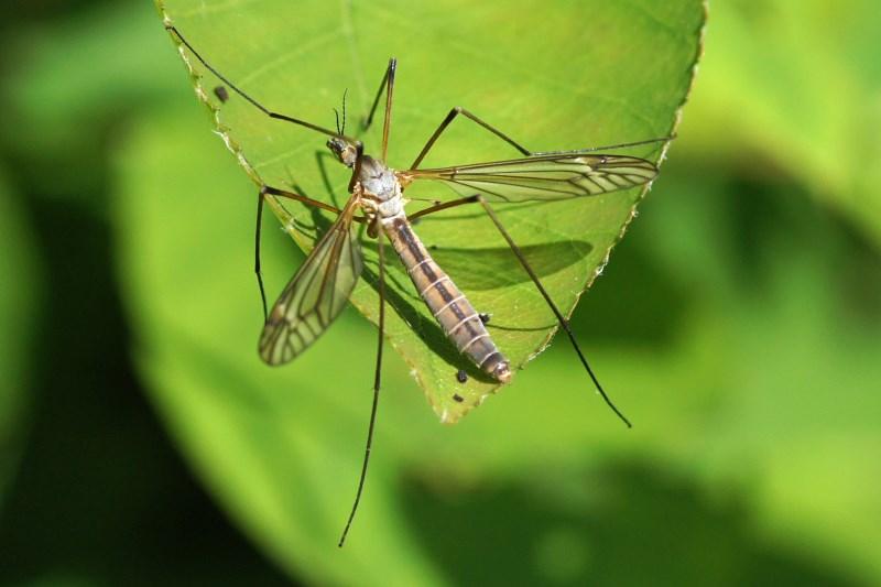 Langpootmug -Tipula vernalis