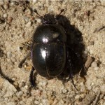 Gewone- of Paardenmestkever Geotrupes spiniger