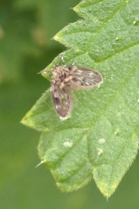 Motmug Aalputmotje Psychodidae