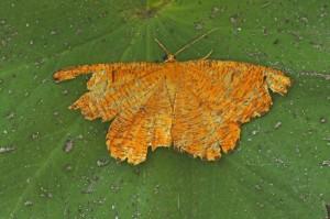 Oranje iepentakvlinder