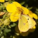 Oranje Luzernevlinder- Colias croceus