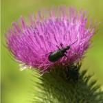 Paarse boktor.-Callidium-violaceum