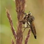Roodbaardroofvlieg -Eutolmus rufibarbis