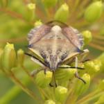Vruchtenschildwants -Carpocoris fuscispinus