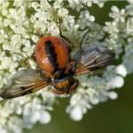Sluipvlieg -Ectophasia crassipennis