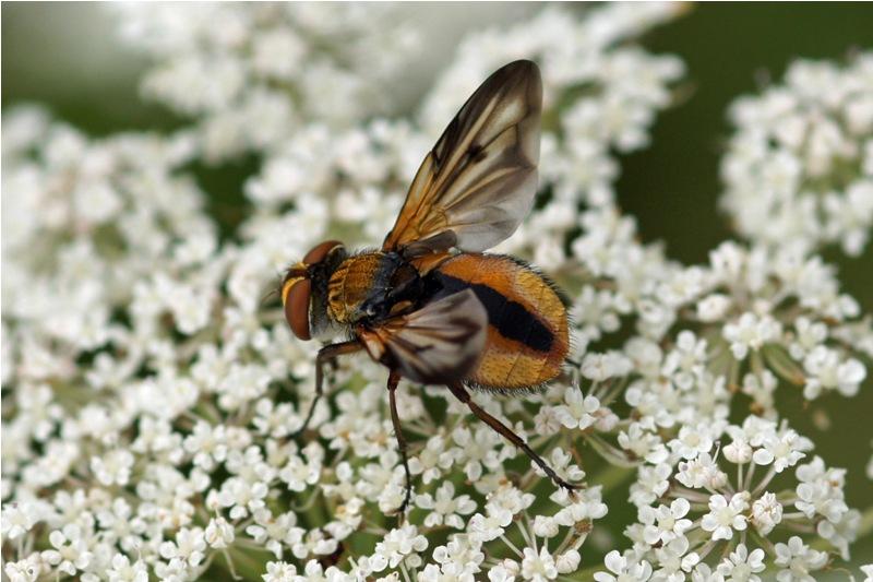 Sluipvlieg -Alophora hemiptera