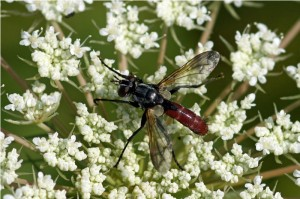 Sluipvlieg -Cylindromyia Bicolor