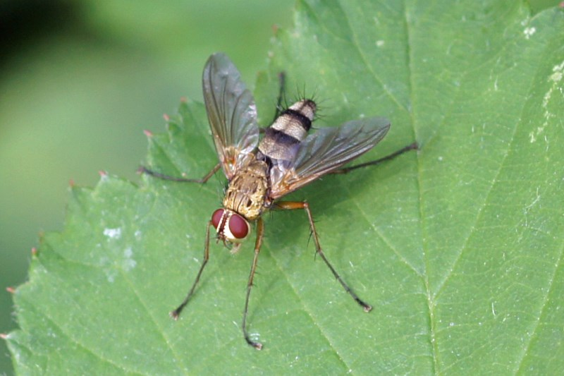 Sluipvlieg -Dexiosoma caninum