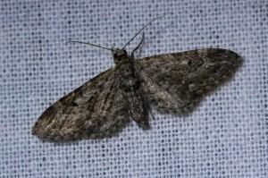 Smalvleugeldwergspanner (Eupithecia nanata)