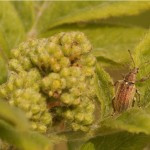 Gestreepte bladsnuitkever Phyllobius pyri