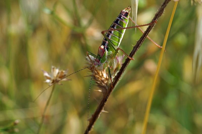 Endemische Sprinkhaan - Poecilimon mytelenensis