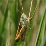 Wekkertje - Omocestus viridulus