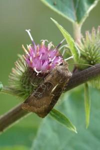 Gele Lis Boorder - Helotropha leucostigma