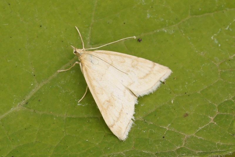 gegolfde lichtmot Anania crocealis