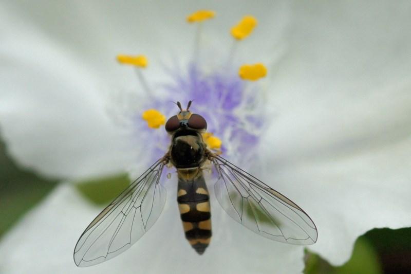 Variabel Elfje -Meliscaeva auricollis