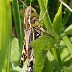 Veldsprinkhaan-Arcyptera fusca