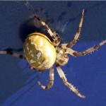 Viervlekwielwebspin-Araneus quadratus