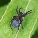 Wolfspin -Pardosa spec