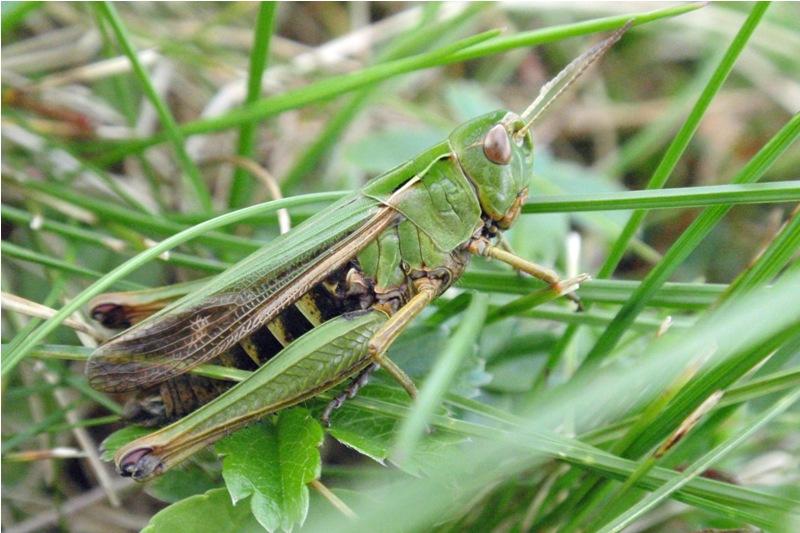 Zoemertje - Stenobothrus lineatus