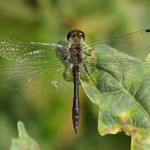 Zwarte Heidelibel -Sympetrum danaeHeidelibel