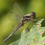 Zwarte Heidelibel -Sympetrum danae