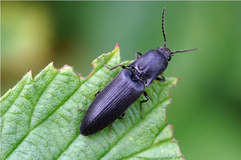 Zwarte Kniptor Hemicrepidius hirtus