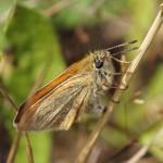 Zwartsprietdikkopje - Thymelicus lineola