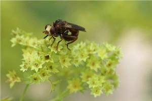 Roestbruine Kromlijf - Sicus ferrugineus