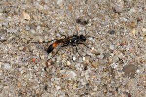 graafwesp -Ammophila sabulosa