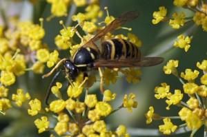 Plooivleugelwespen - Saksische Wesp - Dolichovespula saxonica