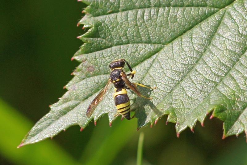 plooivleugelwesp - Ancistrocerus nigricornis