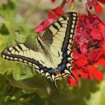 Koninginnepage - Papilio machaon