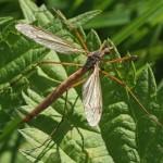 Langpootmug -Tipula paludosa