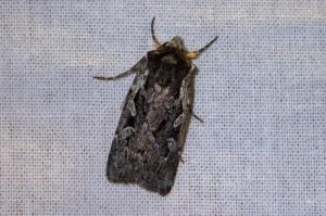 late heide-uil (Xestia agathina)