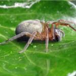 Muurkaardespin -Amaurobius similis