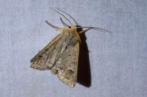 nazomeruil (Ammoconia caecimacula)