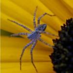 Kraamspin - Pisaura mirabilis