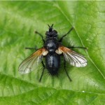 Stekelsluipvlieg -tachina grossa
