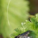 smaragdlangsprietmot -Adela reaumurella