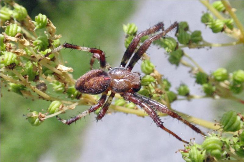 Viervlekwielwebspin - Araneus quadratus