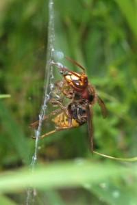 Spinnendoder - Hoornaar
