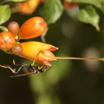 Langsteelgraafwesp -Sceliphron caementarium