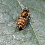 Terrasjeskommazwever - Eupeodes corollae