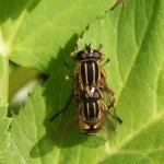 Parende zweefvliegen -Helophilus pendulus