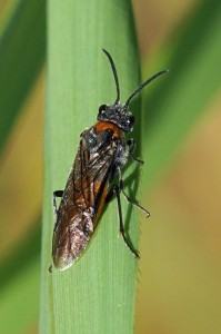 Bladwesp - Dolerus aericeps