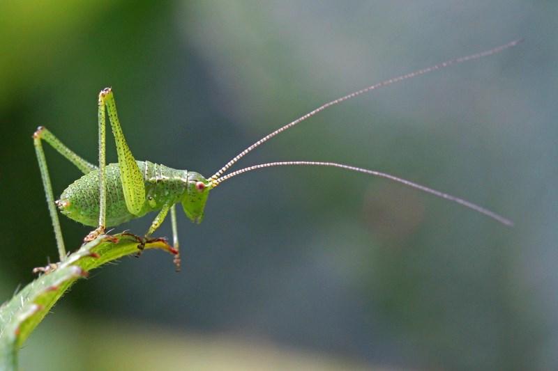 Sprinkhanen insectenparadijs leptophyes punctatissima groene struiksprinkhaan nimf altavistaventures Images