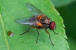 Echte vliegen - Mydaea corni