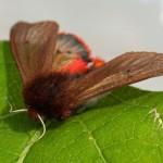 Kleine Beervlinder