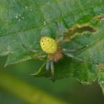 Komkommerspin -Araniella spec